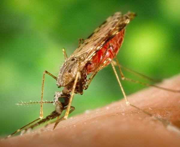 Anopheles albimanus mosquito, malaria vector