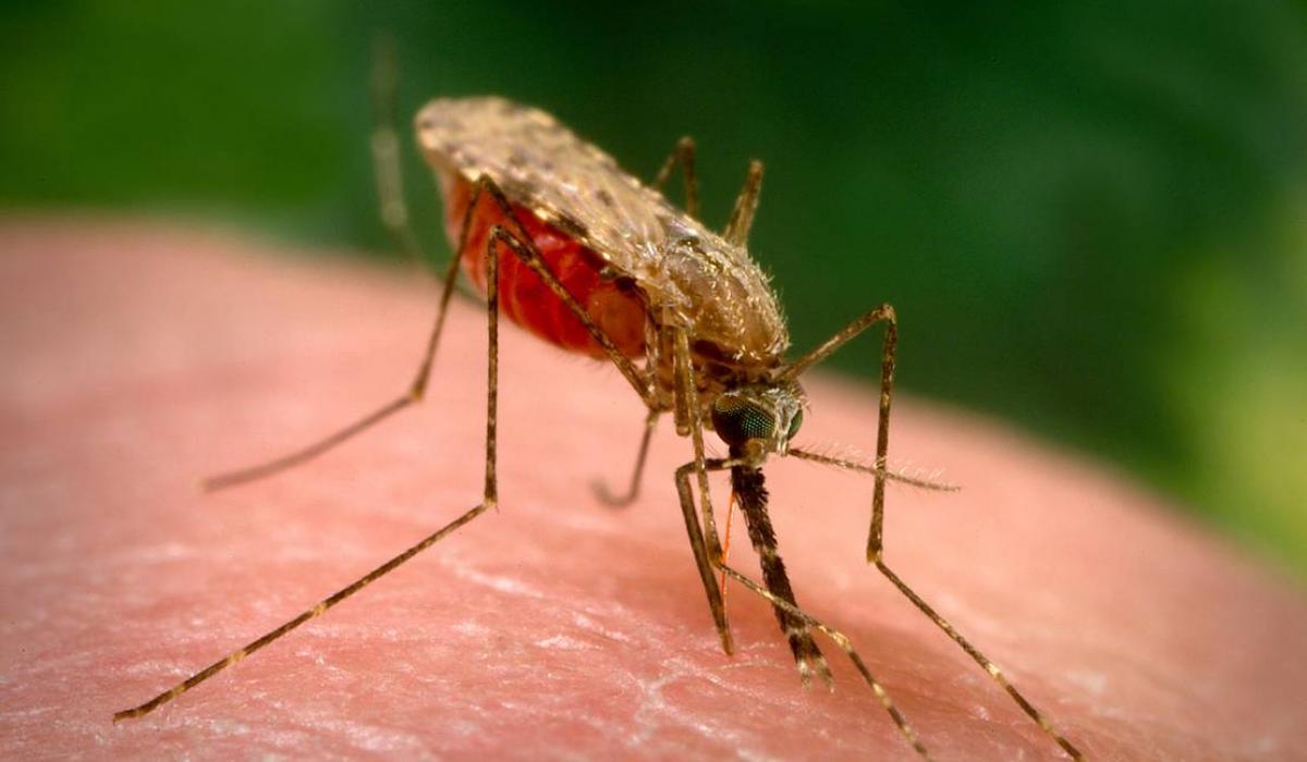 Anopheles gambiae mosquito, malaria vector