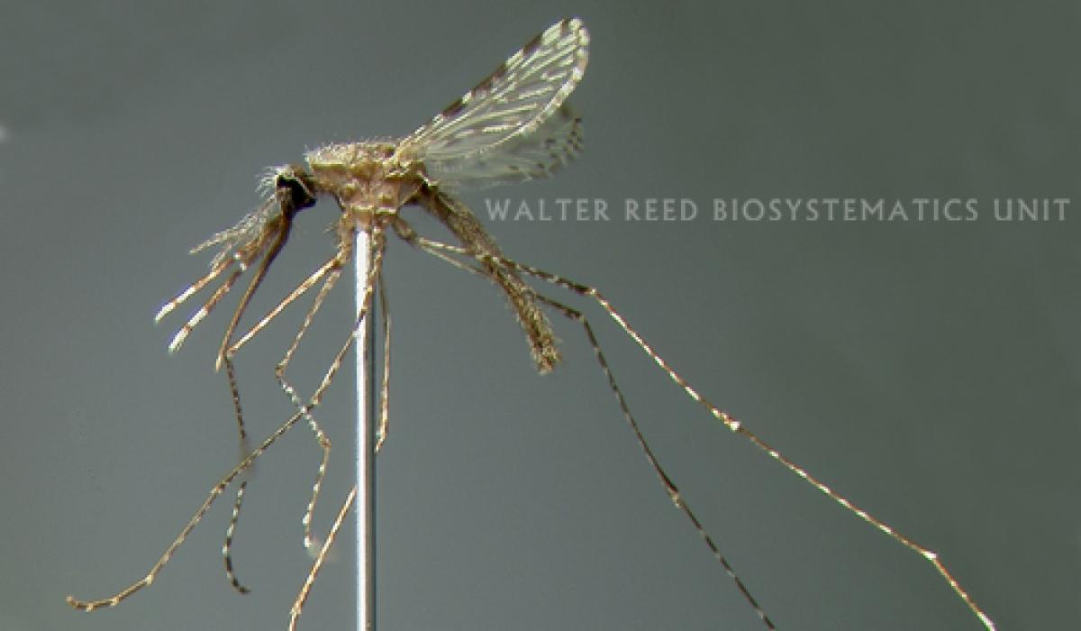 Anopheles maculatus mosquito, malaria vector